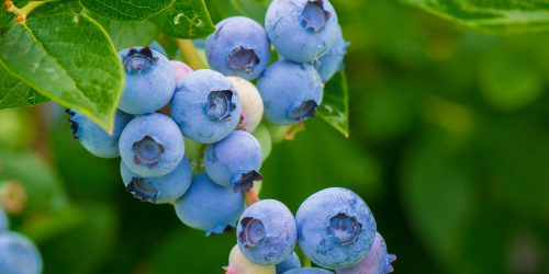 20 Biggest Producers of Blueberries In The World